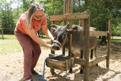 Virginia tending one of her zebu cattle - Tractor Supply Co.