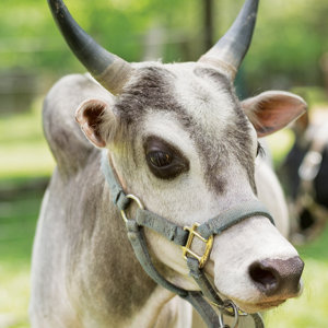close shot of a zebu's head - Tractor Supply Co.