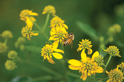 A bee working on a yellow flower - Tractor Supply Co.