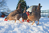 two chickens feeding in snow