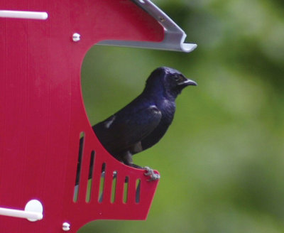 a purple martin sitting on the ledge of its bird 'condo'
