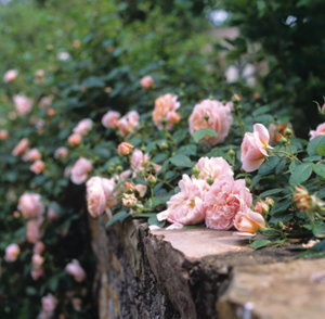 pink roses in bloom growing over the top of a stone wall