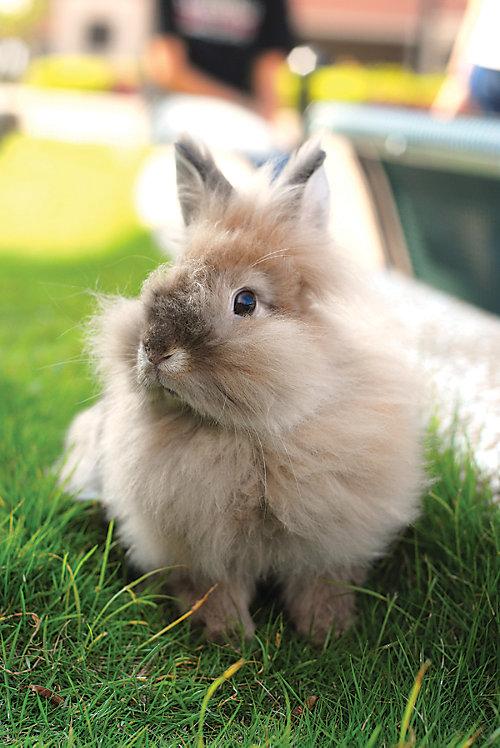 raising angora rabbits tractor supply co