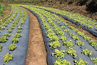 rows of crops with mulching plastic around them