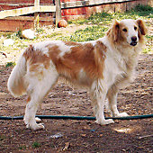 a farmcollie