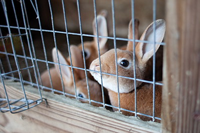 a couple of caged rabbits