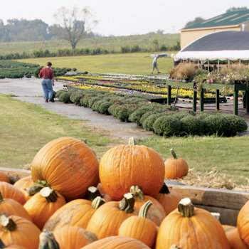 pumpkins in the foreground, a customer looking through the available flowers in the background
