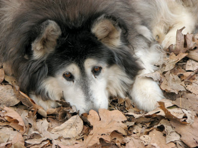 older dog laying in the leaves looking up at the camera