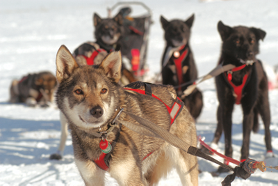 some sled dogs in harness at rest