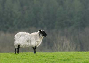 Sheep hanging out in a pasture