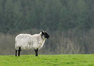 Sheep hanging out in a pasture.