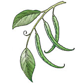 Snap beans illustration.