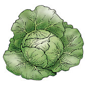 Cabbage illustration.