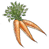 Carrots illustration.