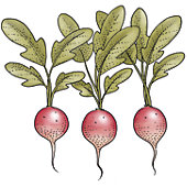 Radishes illustration.