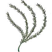 Rosemary illustration.