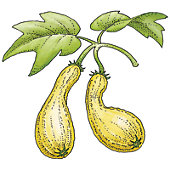 Squash illustration.