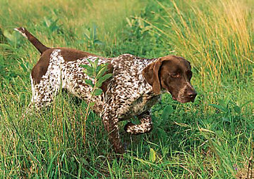 Image of: Hunting Sporting Breeds Often Referred To As Hunting And Bird Dogs Include Retrievers Setters Spaniels And Pointers George Hickox Sporting Dog Breeds Dog Care Tractor Supply Co