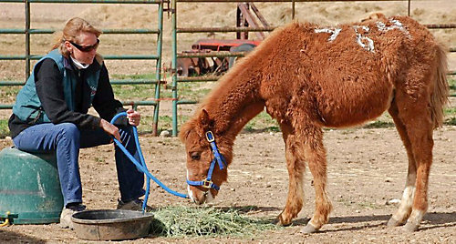 light brown horse in a halter next to a woman sitting on the hay
