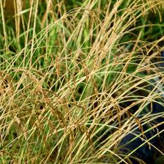 wheat in the field