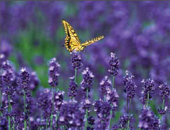 yellow butterfly lighting on purple flowers