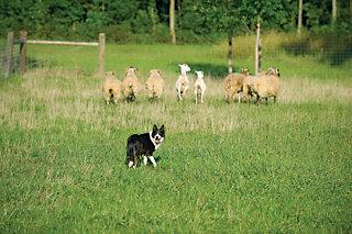 dog turning to face the shepherd