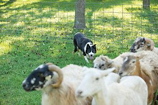 dog focusing on livestock