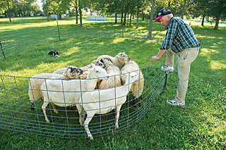 livestock in the pen with the shepherd standing over them