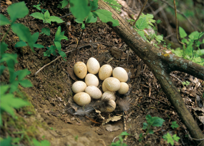 a turkey nest with eggs