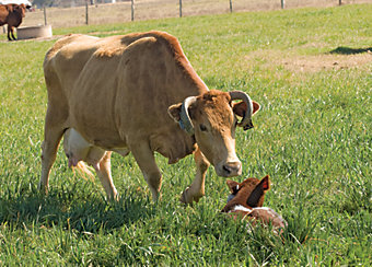 cow checking out a calf