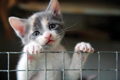 a gray kitten