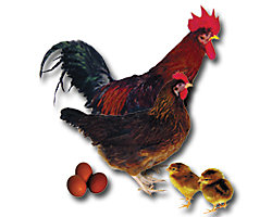 Poultry Breed Research Guide | Chicken Care | Tractor Supply Co.