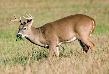 Effective Deer Management is key to a healthy herd - Tractor Supply Co.