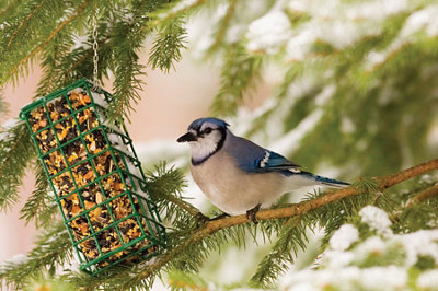 bluejay on an ice-covered evergreen limb next to a feeder
