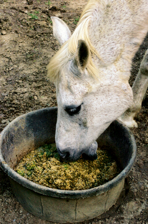 an older horse eating out of a bucket