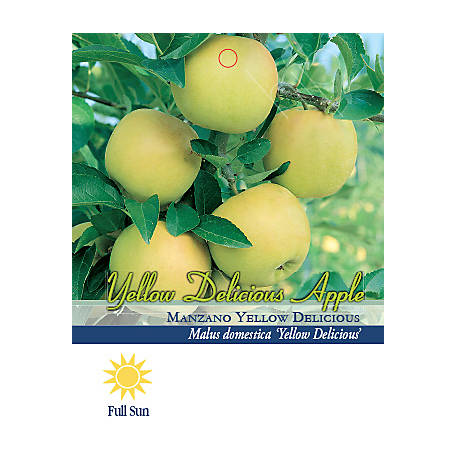 Pirtle Nursery Yellow Delicious Apple #5, 3.74 gal.