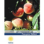 Pirtle Nursery Hale Haven Peach #5, 3.74 gal.
