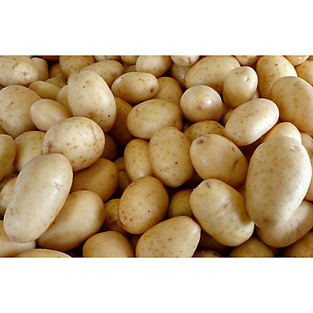 DeGroot Seed Potato Kennebec, 5 lb.
