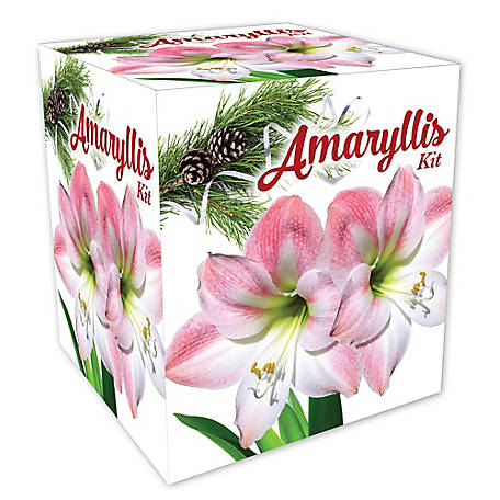 DeGroot Pink Amaryllis Gift Kit