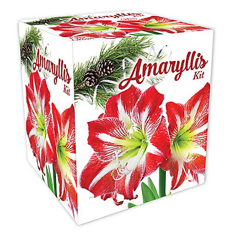 DeGroot Striped Amaryllis Gift Kit