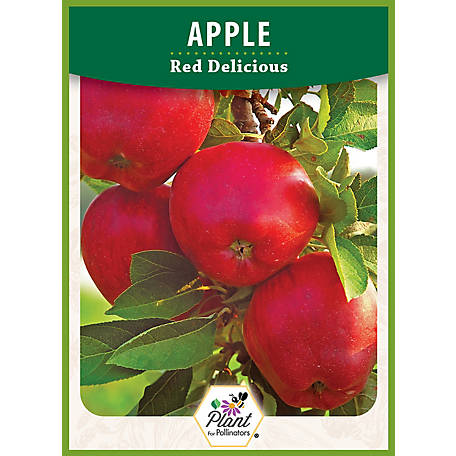 DeGroot Apple Tree Red Delicious, 1 Plant