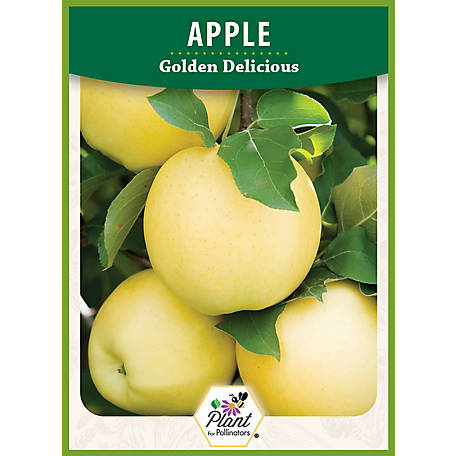 DeGroot Apple Tree Golden Delicious, 1 Plant
