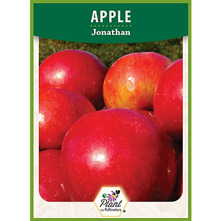 DeGroot Apple Tree Jonathan, 1 Plant