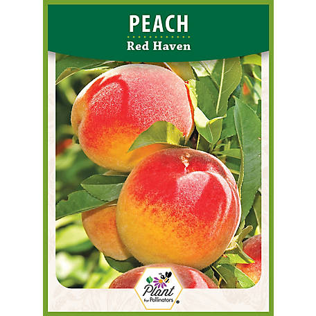 DeGroot Peach Tree Red Haven, 1 Plant