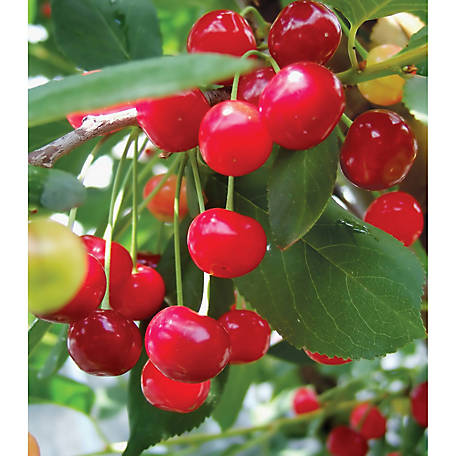 Degroot Cherry Tree Montmorency 1 Plant At Tractor Supply Co