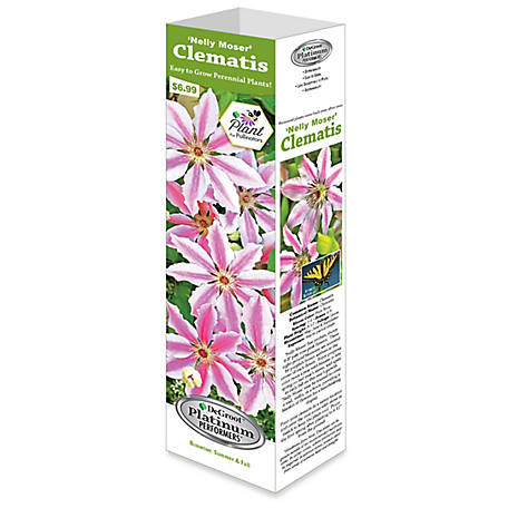 DeGroot Clematis Nelly Moser, 1 Bulb