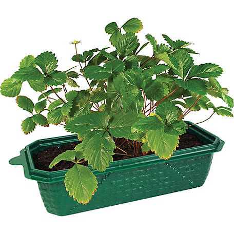 DuneCraft Grow Your Own Strawberries, 9 in. x 4.5 in. x 6 in.