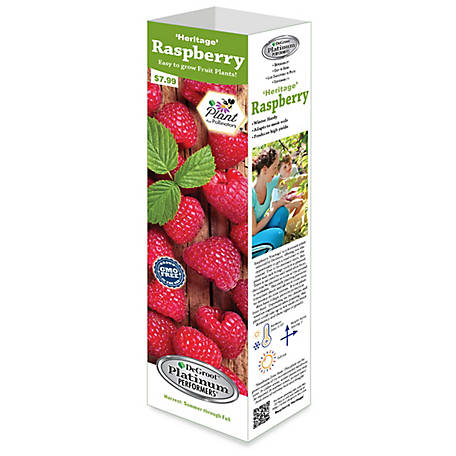 DeGroot Raspberry Heritage, 1 Plant