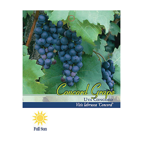 Pirtle Nursery Concord Grape #2, 1.5 gal.