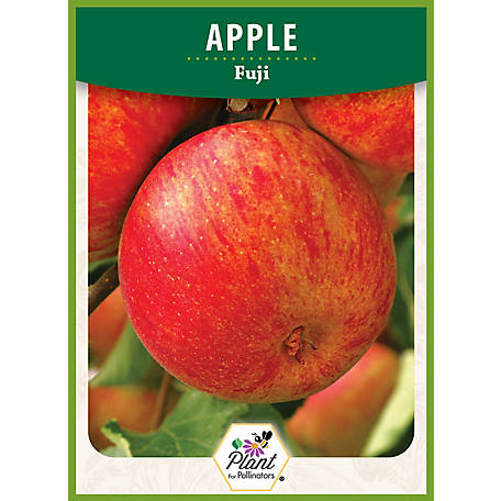 DeGroot Apple Tree Fuji, 1 Plant, TSFTAP10